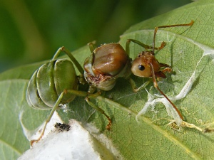 Queen ant, spain